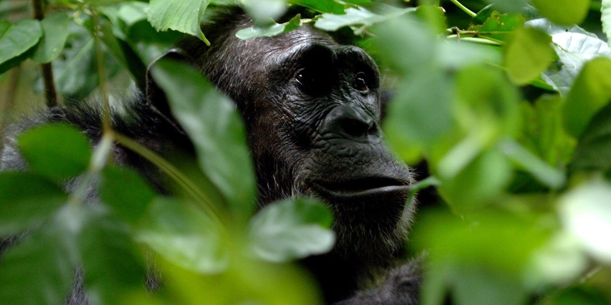 The chimpanzee at Gombe Stream National Park